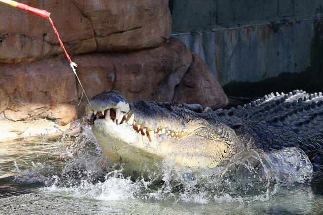 Крокодил Берт