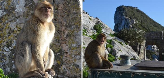 Маготы могут считаться коренными жителями Гибралтара