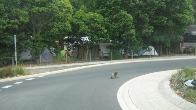 Там же в Австралии неожиданно коала переходил дорогу