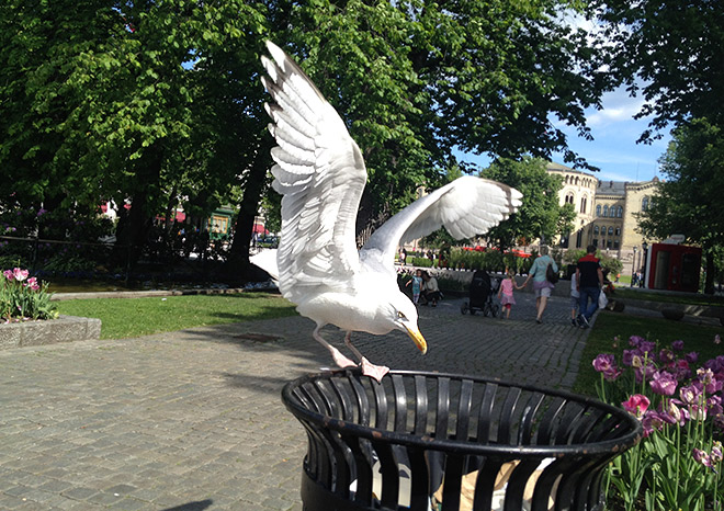 Птицы в Норвегии не бояться человека и привыкли к соседству с ним
