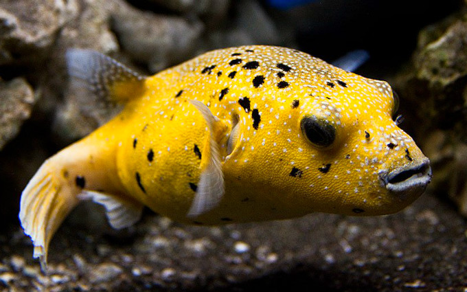 Рыба семейства иглобрюхих (рыба-собака, рыба фугу), содержащих яд тетродотоксин