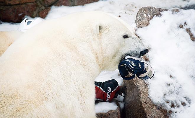 ХК «Трактор» взял под опеку представителя городского зоопарка белого медведя Алтына