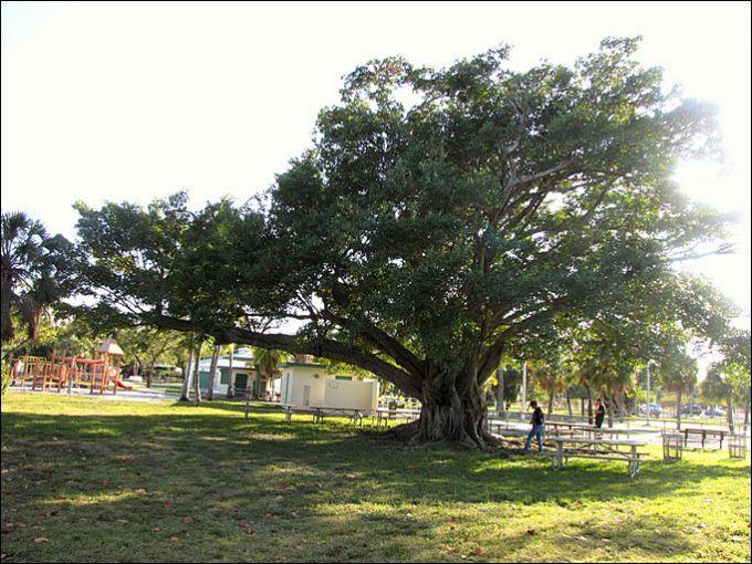 Дерево с толстым стволом