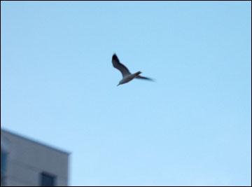 Стокгольмская чайка