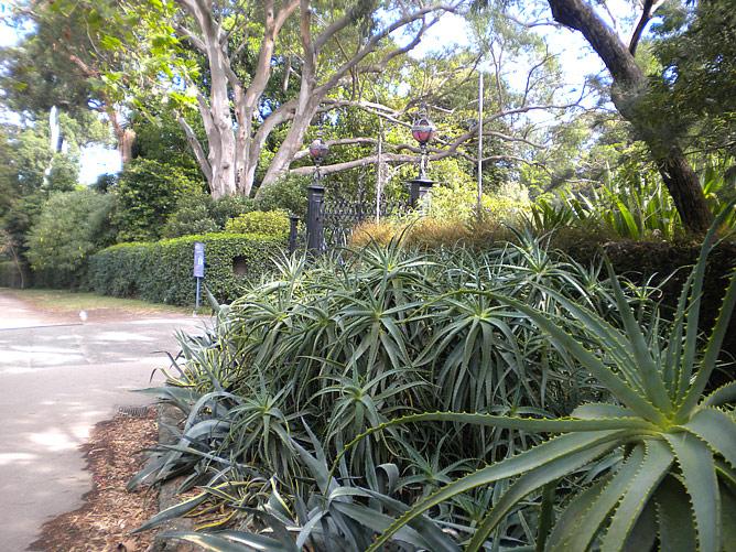 Алоэ в Австралии растёт не в горшках на окне, а на клумбах