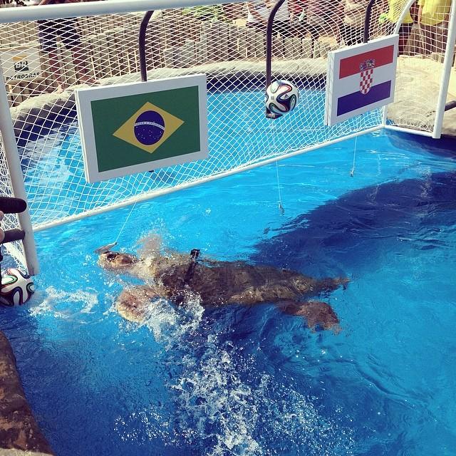 Черепаха предсказала победу Бразилии над Хорватией в первой игре чемпионата мира