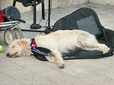 "За ""Хайдук"" болеют даже собаки"