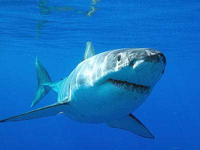 Нотсы, или чем акула точит зубки