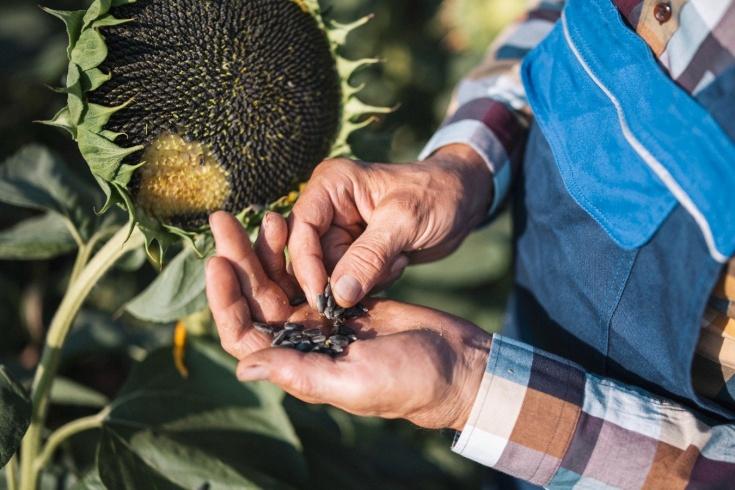Что будет, если есть семечки каждый день, можно ли грызть много жареных семечек подсолнуха ежедневно